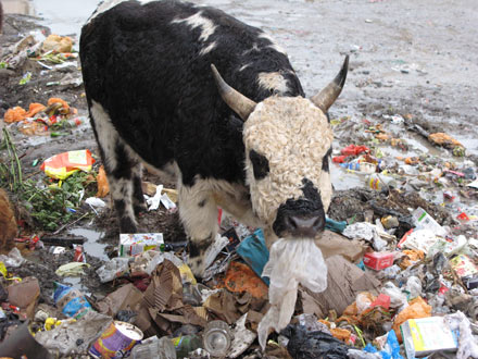 blog_trash_cow3